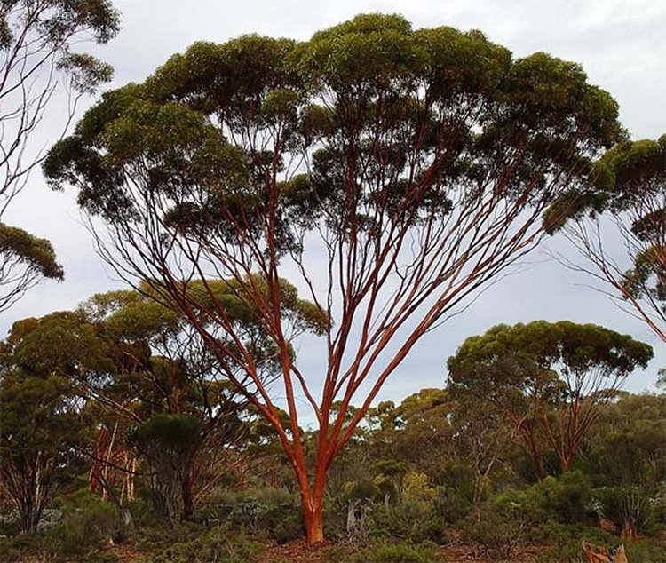 Gum Tree Leaves Can Signal Gold in the Soil Below, Reports South Australian Miner